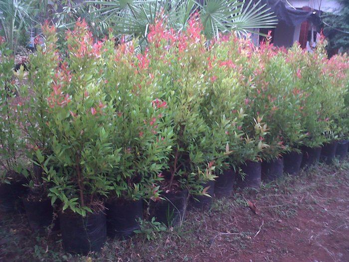 Pohon Pucuk Merah