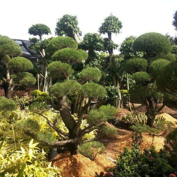 Tukang Pohon Cemara Udang Serpong 01